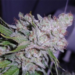 Buy Berry White Weed